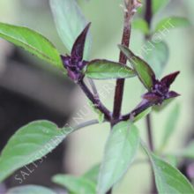 Basil Siam Queen Seeds