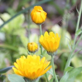 Calendula Double Orange Seeds