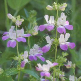 Collinsia Chinese Houses Seeds