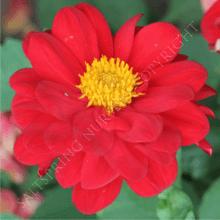 Dahlia - Double Red
