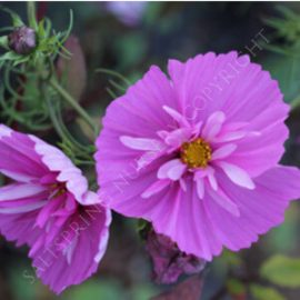 Cosmos Sensation Purple Seeds