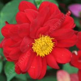 Double Red Bedding Dahlia Seeds