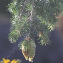 Pseudotsuga Douglas Fir Tree Seeds