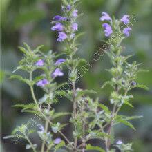 Dragonhead Flowers