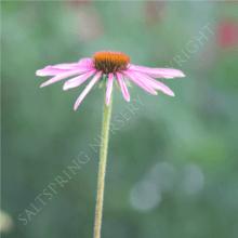 Echinacea 'Narrow Leaf' Seeds