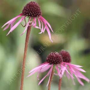 Echinacea Narrow Lea' Seeds