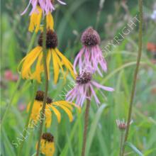 Echinacea paradoxa Yellow Seeds