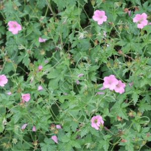 Geranium endresii 'Wargrave Pink'