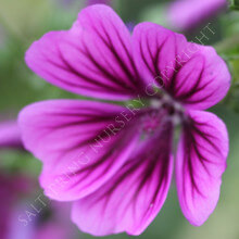 Malva Purple Prince