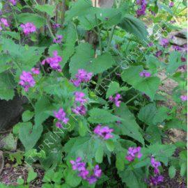 Lunaria Money Plant Seeds