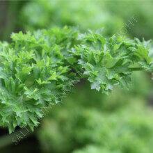 Petroselinum crispum Moss Curled