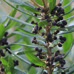 Pacific Wax Myrtle Seeds