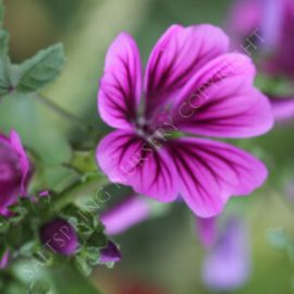 Malva Purple Prince Seeds