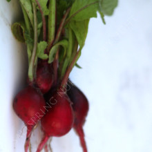 Radish Heirloom Scarlet Globe
