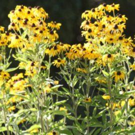 Sweet Rudbeckia subtomentosa