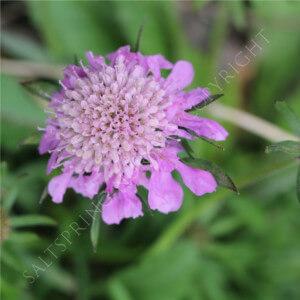 Scabiosa japonica 'Diamond Pink'