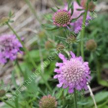 Scabiosa kaponica diamond pink seeds