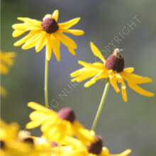 Sweet Rudbeckia subtomentosa Seeds