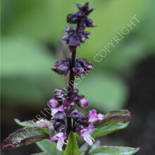 Basil - Siam Queen Seeds