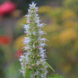 Agastache foeniculum 'Alba' Seeds