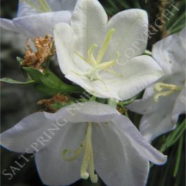 Bell Flower White Seeds