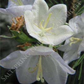 Bell Flower White Seeds