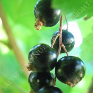 Black Currant Plants