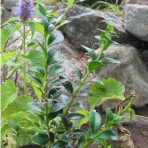 Boxwood Plants