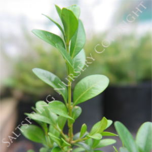 Boxwood Sempervirens