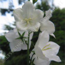 Bell Flower White