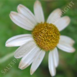 Chamomile Roman nobilis Seeds