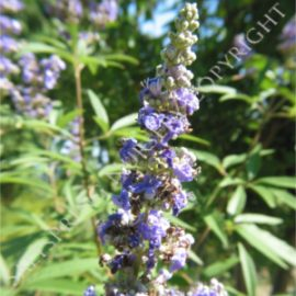 Chaste Tree Vitex Seeds