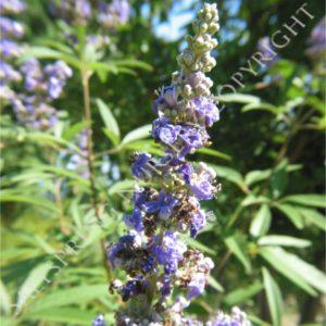 Chaste Tree Vitex Seeds
