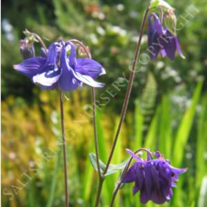 Columbine vulgaris Purple Seeds