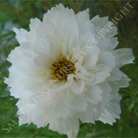 Cosmos Snow Puff Seeds