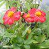 Dahlia Variabilis Dandy Plant
