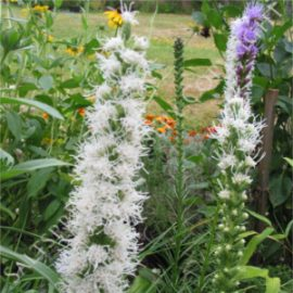 Blazing Star Mix Seeds