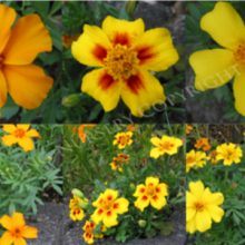 Marigold Disco Series