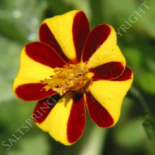 Red Stripe Marigold