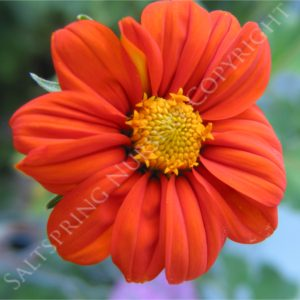 Mexican Sunflower Tithonia Seeds