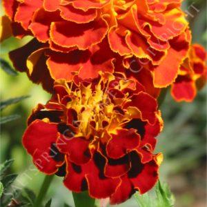 Marigold French Orange Seedsseeds