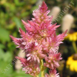 Celosia Plumosia