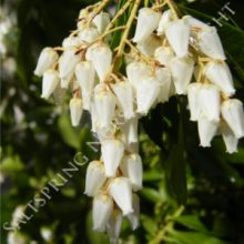 Pieris Forest Flame Seeds