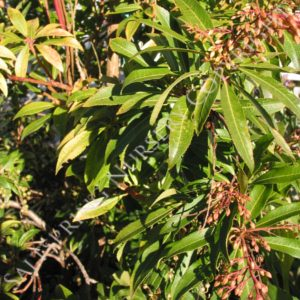 Pieris Valley Valentine Seeds