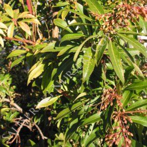 Pieris Valley Valentine Seeds