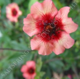 Potentilla Miss Willmot
