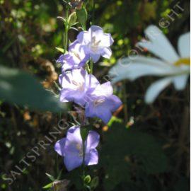 Purple Bellflower