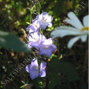 Bellflower Purple sessiliflora Seeds