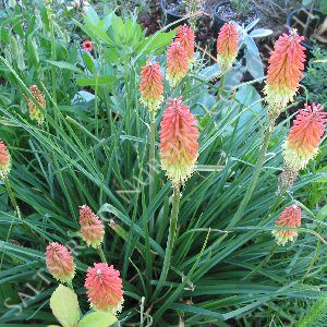 Red Hot Poker Torch Lily