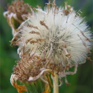Saltspring Nursery Plant Seeds